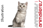 Adorables chatons british shorthair loof