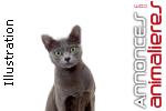 Portée de chatons korat