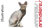 Chaton devon rex pure race