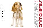 Portée de beagle pour juillet