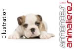 Recherche bulldog anglais