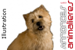 Adorables chiots cairn terrier