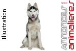 Chiots gris siberian husky lof à réserver