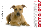 Chiots american staffordshire terrier