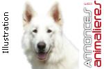 Placer une femelle berger blanc suisse