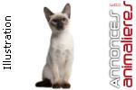 Recherche chaton siamois thaï