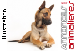 Vends chiots malinois