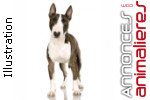 Chiots bull terriers