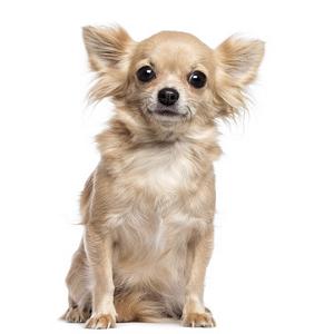 Les petites annonces Chihuahua à poil long