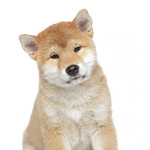 Les petites annonces Akita inu