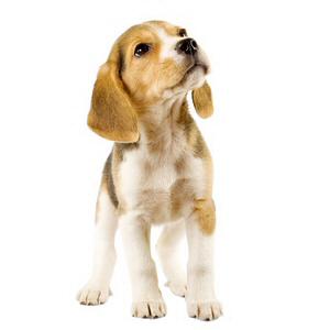 Les petites annonces Beagle