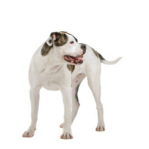 Les petites annonces Bulldog americain