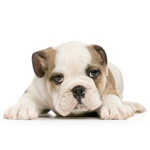 Les petites annonces Bulldog