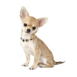 Les petites annonces Chihuahua à poil court