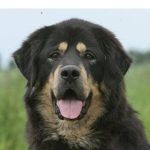 Chiots et chiens Dogue Du Tibet à vendre, Page 1