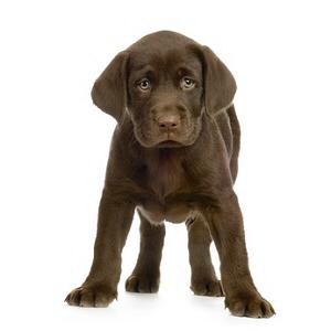 Les petites annonces Labrador retriever