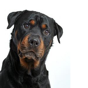 Les petites annonces Rottweiler