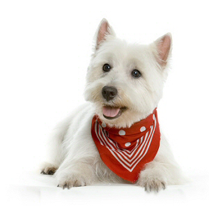 Les petites annonces West highland white terrier